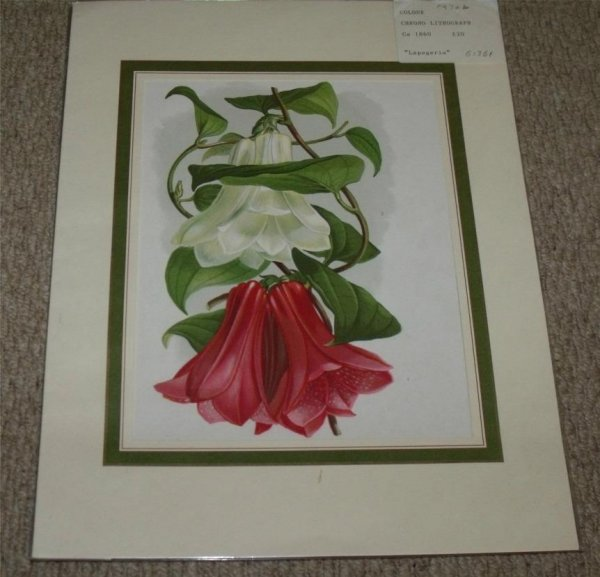 Image for Attractive original Colour Chromo Lithograph of Lapageria.