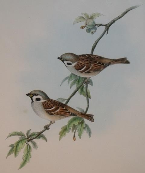 Image for Passer Montanus (Tree Sparrow) From Gould's Birds of Great Britain.