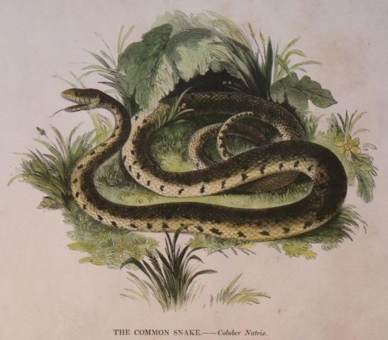 Image for The Common Snake. Coluber Natrix.