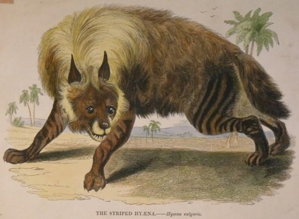 Image for The Striped Hyaena. Hyaena vulgaris.