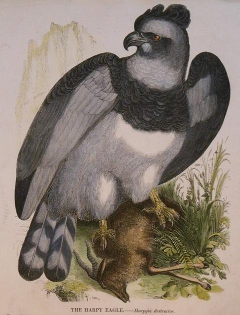Image for The Harpy Eagle. Harpyia destructor.