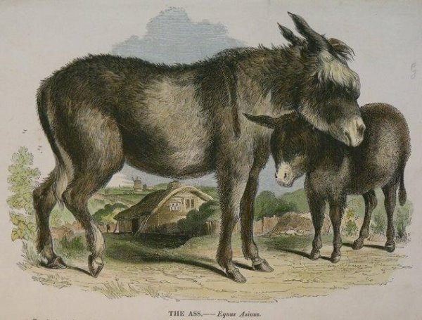 Image for The Ass. Equus Asinus.