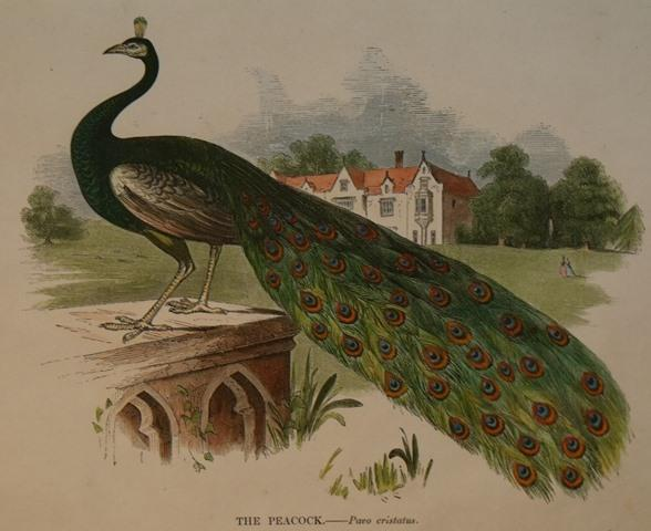 Image for The Peacock. Pavo cristatus.