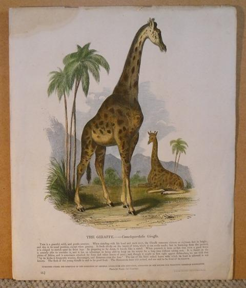 Image for The Giraffe. Camelopardalis Giraffa.