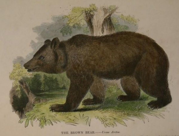 Image for The Brown Bear. Ursus Arctos.