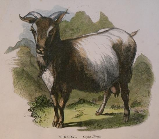 Image for The Goat. Capra Hircus.