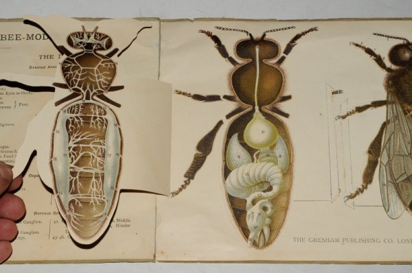 Image for Structure of The Bee. Shown In Model. The Queen Bee & The Drone. Illustrated Models. 'Reveal-style' hinged plates.