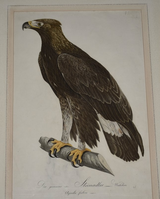 Image for Der Gemeine oder Steinadler Weibchen. The Common or Golden Eagle Female