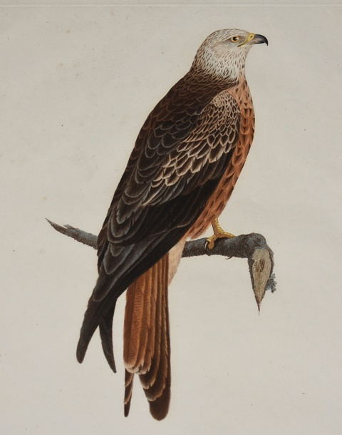 Image for FALCON. Die Gabelweyhe männchen Falco Milvus (Male)