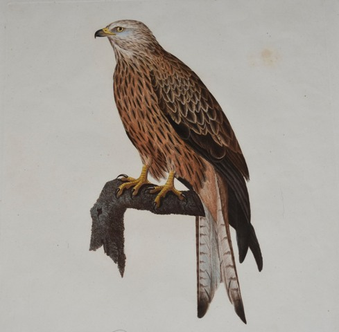 Image for FALCON. Die Gabelweyhe männchen Falco Milvus (Female)