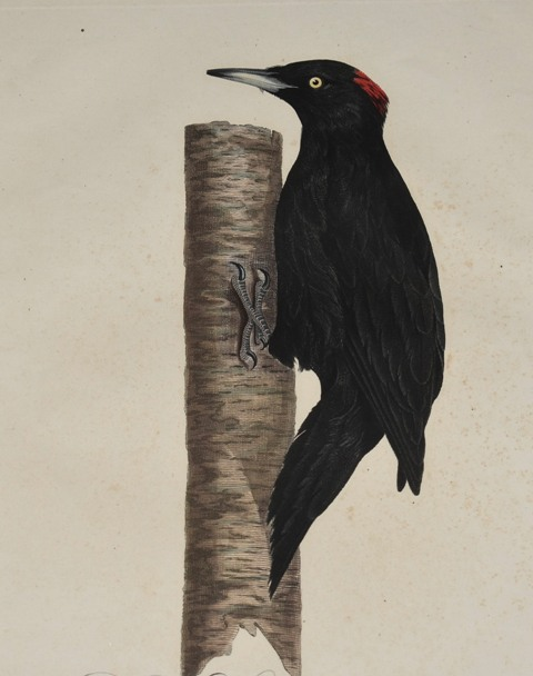 Image for The Black Woodpecker. Der schwarzspecht Picus Martius (Female)