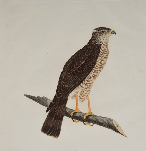 Image for The Finch Hawk. der finkenhabicht (Female)