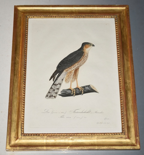 Image for The Finch Hawk. der finkenhabicht (Male)
