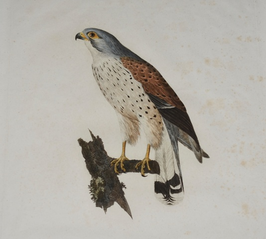 Image for Der Turmfalke (Falco tinnunculus) Der thurmfalke (Male) The kestrel