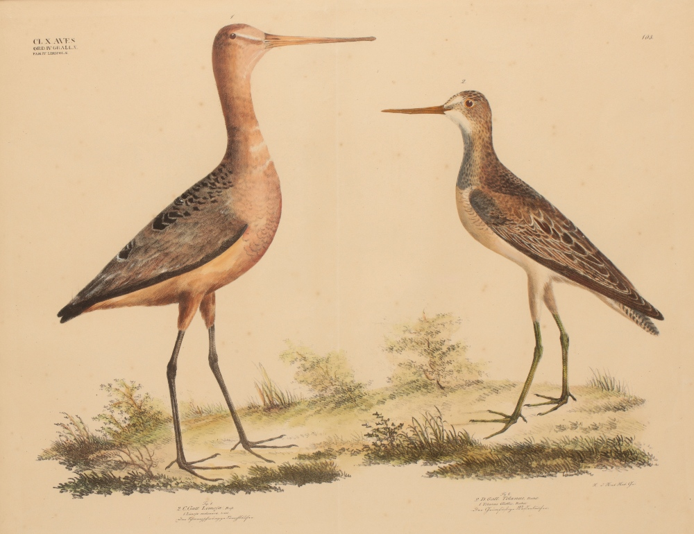 Image for 'LIMOSA MELANURA' AND 'TOTANUS GLOTTIS' a study of a Black-tailed Godwit and a Greenshank