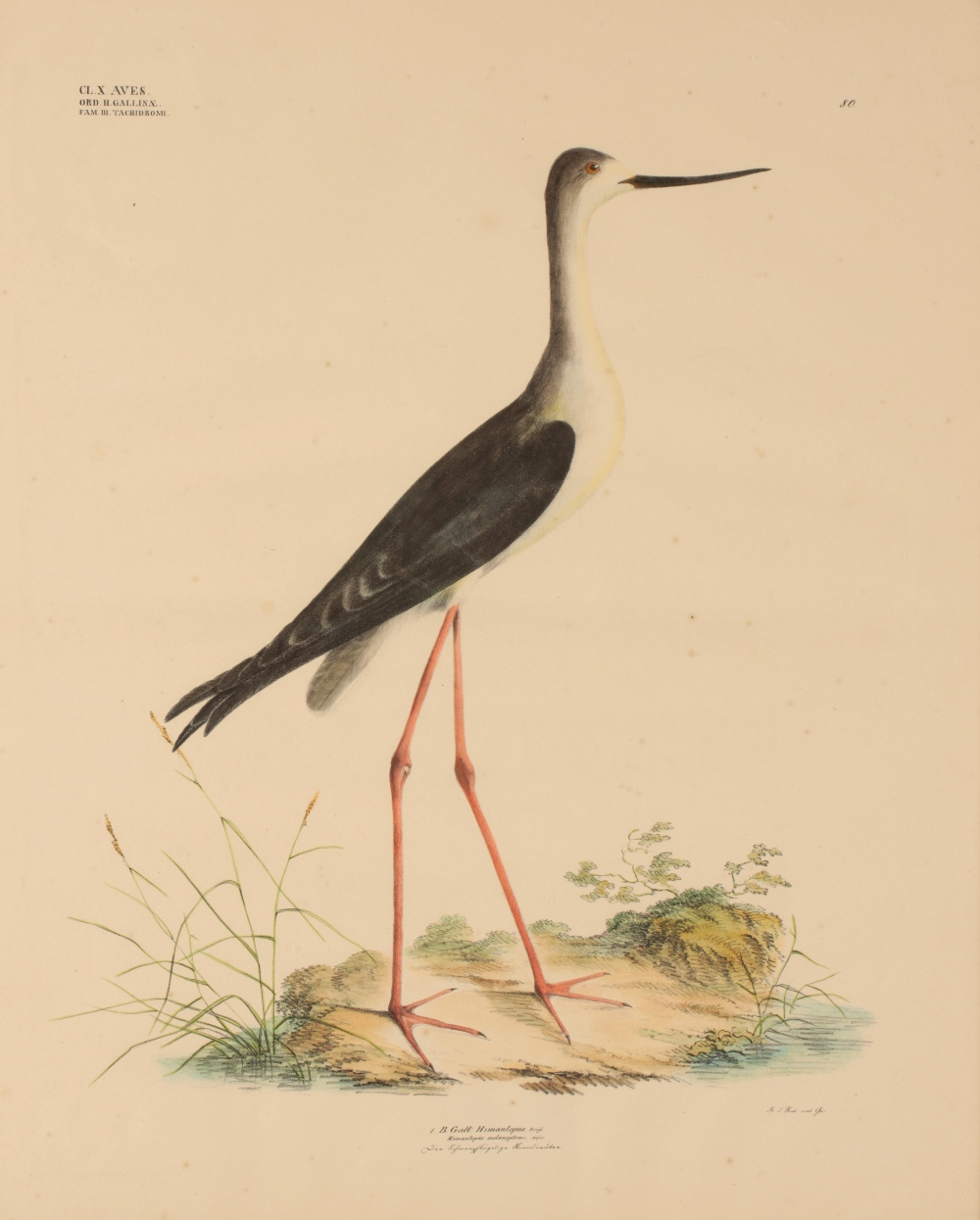 'Himan-topus Melanopterus' Black-Winged Stilt. Number 80