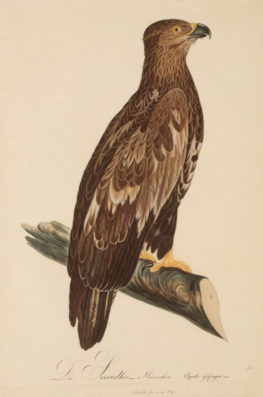 Image for Der Seeadler Sea Eagle MALE